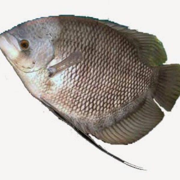 ikan-gurame-1